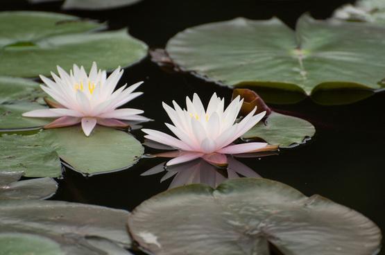 water lilyshakujii park