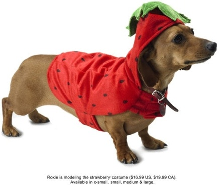 wear strawberry installed puppy hd picture