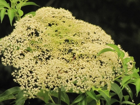 weed flower white