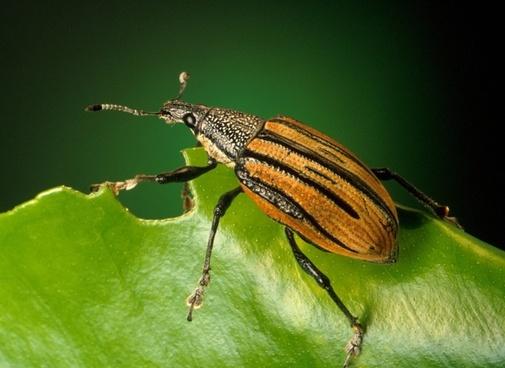 weevils beetle diaprepes abbreviatus