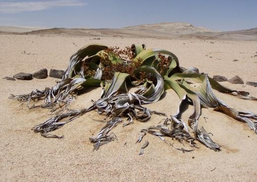 welwitschia mirabillis namibia fossil