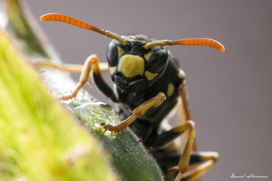 wespe wasp