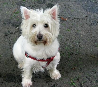 west highland white terrier westie terrier