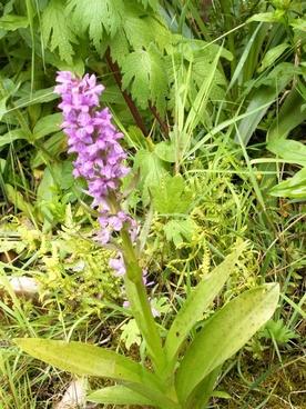 western marsh knabenkraut orchid german