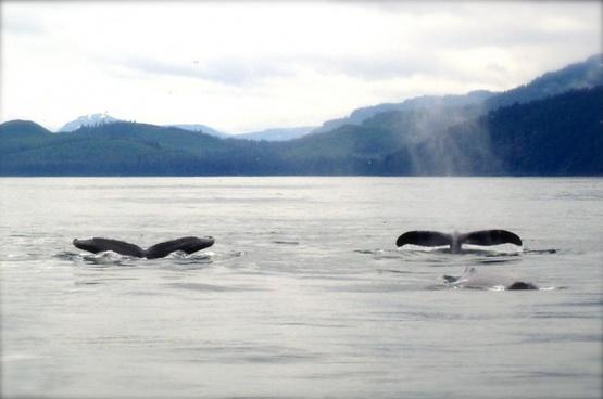 whales marine ocean