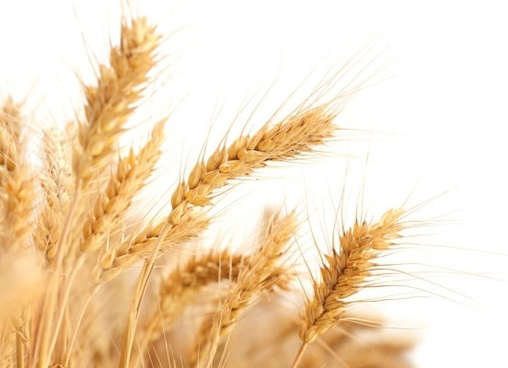 wheat 04 hd picture