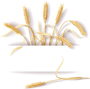 wheat and white background vector