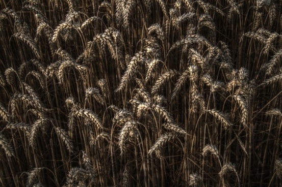 wheat grain field