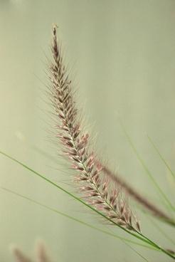 wheat harvest crop
