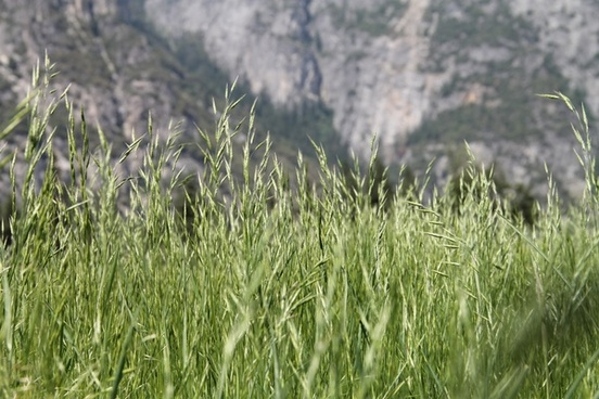 wheat like grass with mountains