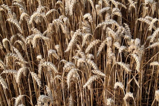 wheat plants crop