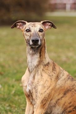 whippet dog canine