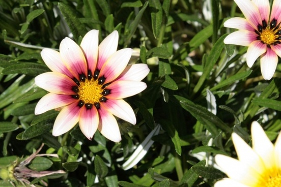 white and pink african daisy blooms