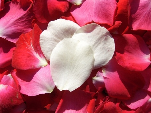 white and red rose petals