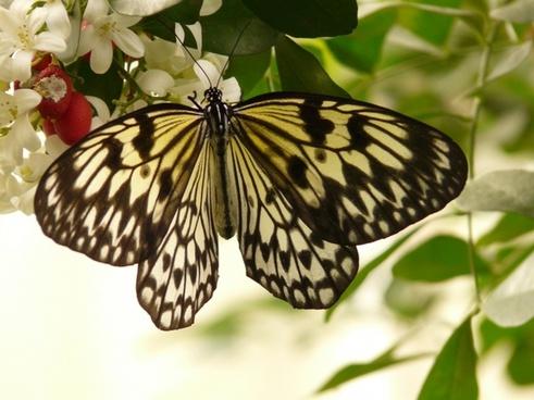 white baumnymphe butterfly idea leuconoe
