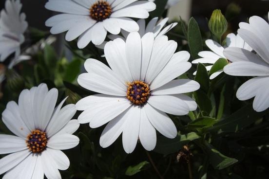 white daisy blossoms