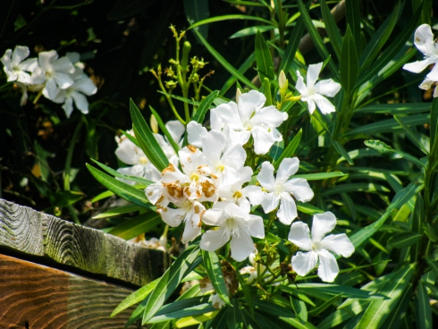 white flowers 10