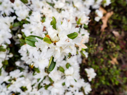 white flowers 6