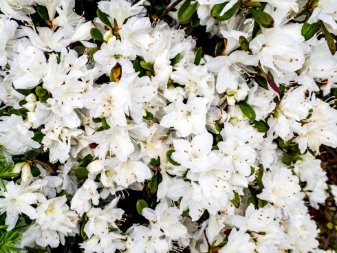 white flowers 8