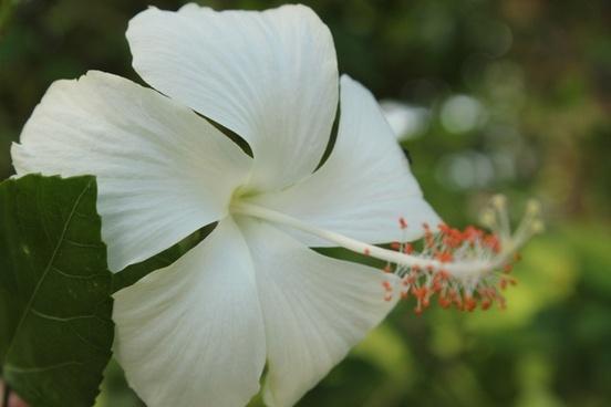 white gumamela flower
