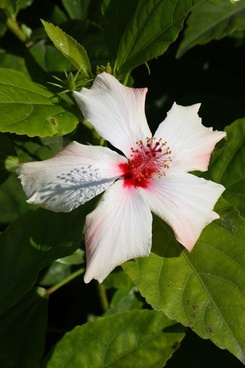 white hibiscus with red stamen