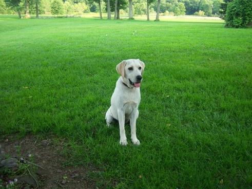 white labrador dog