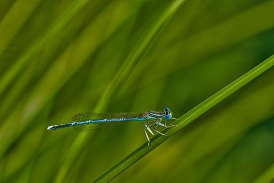 white legged damselfly darter lev�ll�b� dragonfly