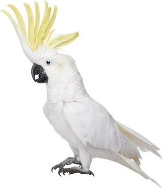 white parrot picture 2