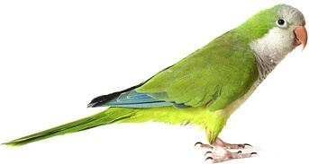 white parrot picture 4
