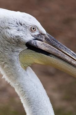 white pelican detail