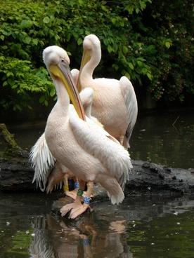 white pelican pink pink pelican