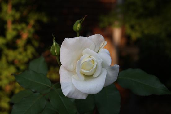 white rose 2008