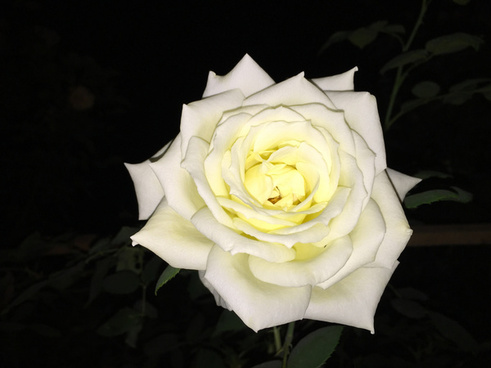 white rose at night