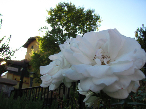 white rose at the golden vine winery