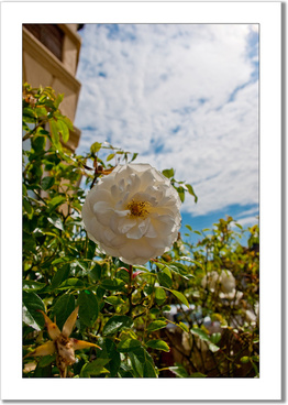 white rose in redfield