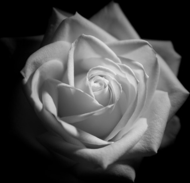 White rose monochrome