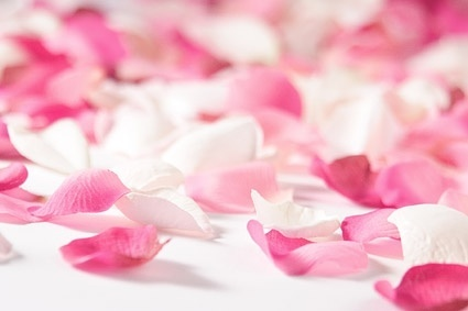 white rose pink rose petals stock photo