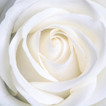 white roses picture