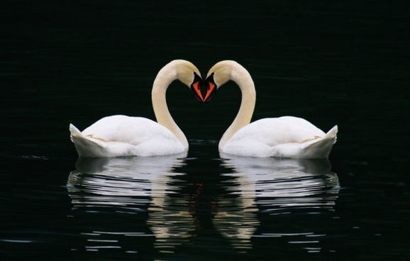 white swan 01 hd picture