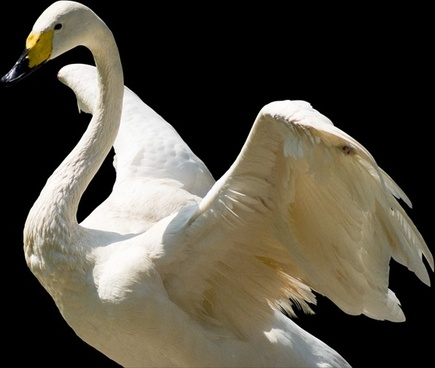 white swan psd