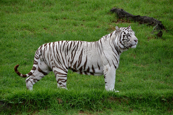 white tiger picture free stock photos download 7 090 free stock