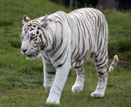 white tiger 6