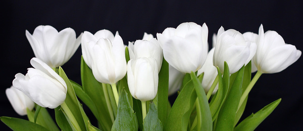 White Tulips Pictures Free Stock Photos 7 559
