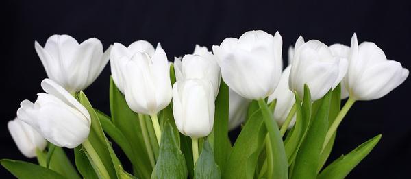 Free white tulip flower images free stock photos download 16247 white tulips explore mightylinksfo
