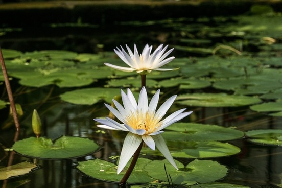 white water lily nymphaea micrantha water lily
