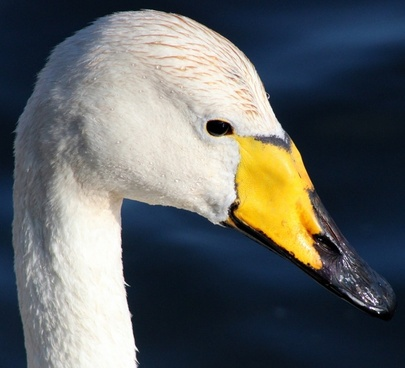 whooper swan bird water