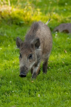 wild boar on grass