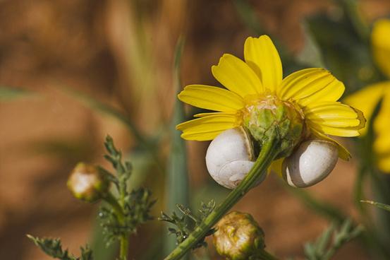 wild chrysanthemum and snails