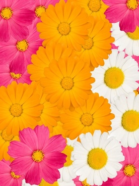 wild chrysanthemum three colors hd picture
