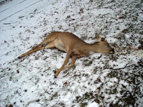 wild fallow deer roe deer